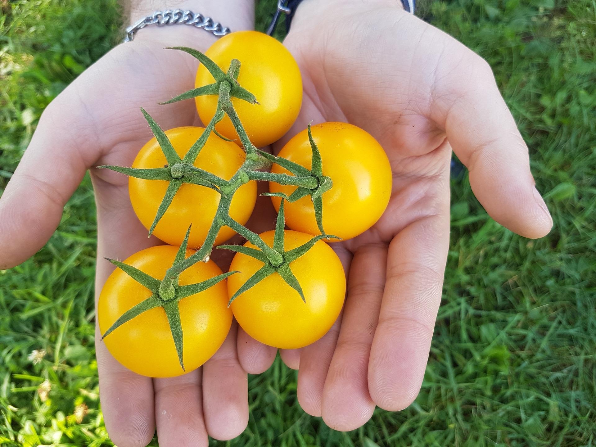 tomato-2952799_1920